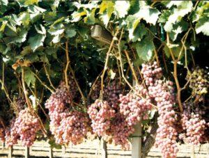 c grapevines 10-20-98-1