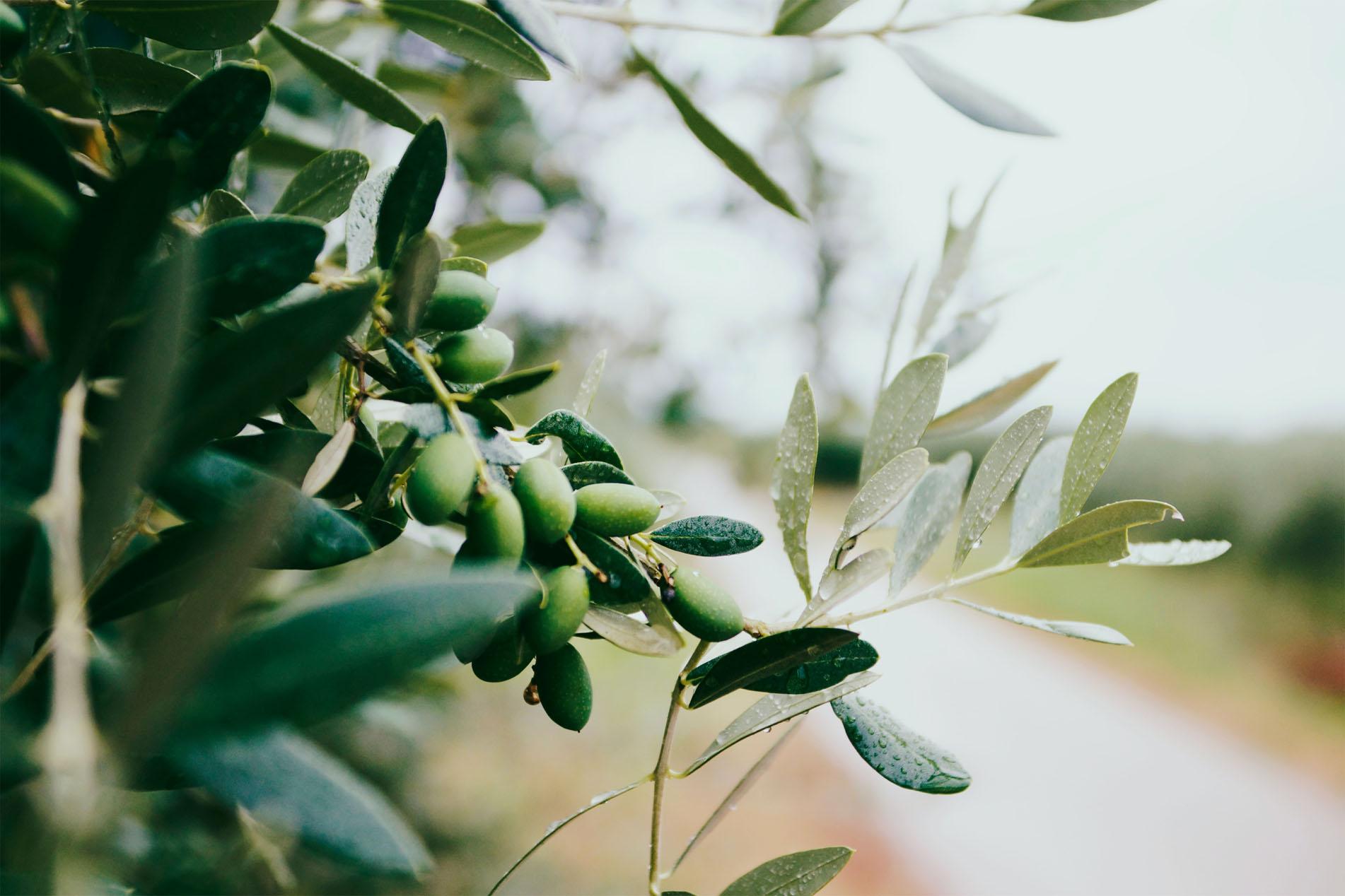olive plant stock resized