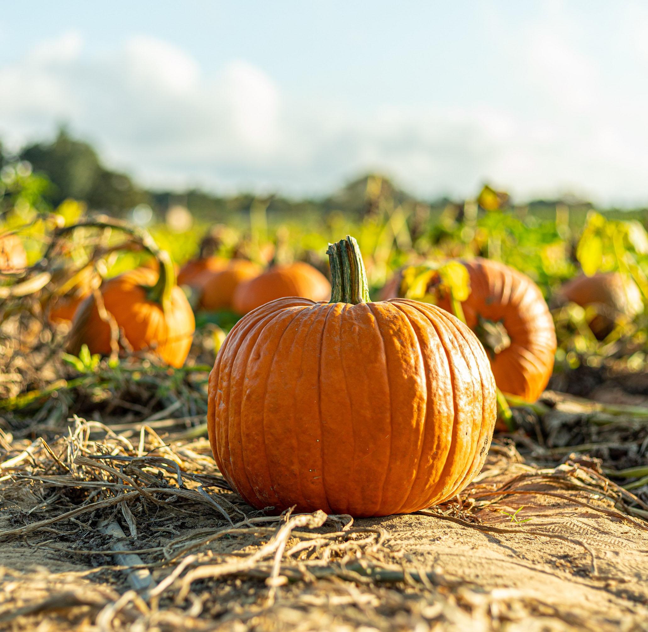 pumpkin stock resized